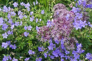Geranium x Johnson's Blue with Allium cristophii
