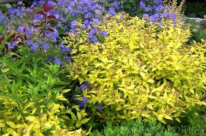 Spiraea japonica 'Goldmound' with Geranium x 'Johnson's Blue'