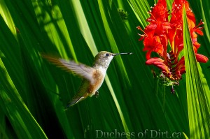 Humminbird & Crocosmia 'Lucifer'