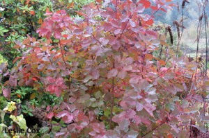 Cotinus 'Grace' - autumn colour beginning