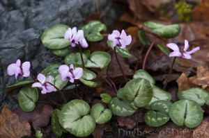 Cyclamen coum flowers