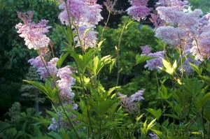 Filipendula rubra 'Venusta' in flower