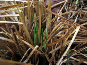 Carex elata 'Aurea' - new shoots coming up in January