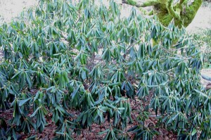 Freezing rhododendron