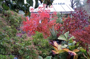 Cotinus 'Grace' - Autumn showcase
