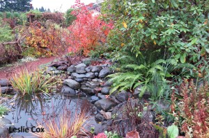 Cotinus 'Grace' - pond view