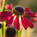 Helenium 'Morheim Beauty'