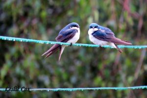 newly fledged baby tree swallows from 2016's brood