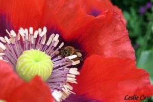honeybee in poppy