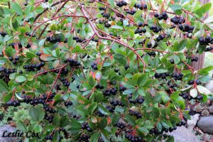 Aronia melanocarpa loaded with berries