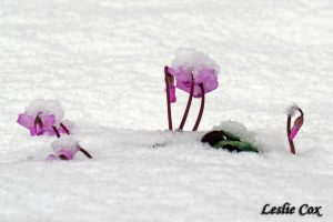 snow hats on cyclamen