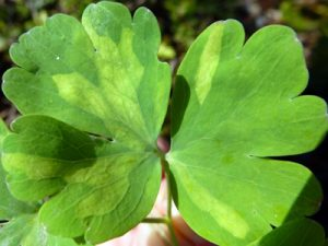 columbine leaf showing patches of ADM