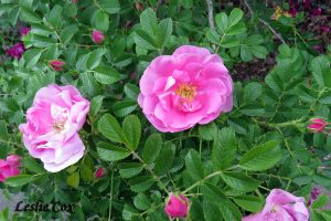 Rosa rugosa - double pink