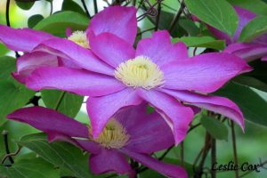 Clematis spp.