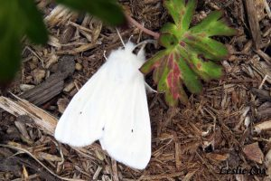 white moth - wing marking