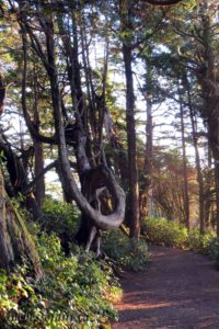 contorted tree on the Wild Pacific Trail, Ucluelet, BC