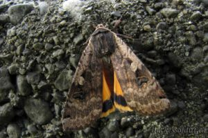 possibly Xestia praevia - cutworm moth