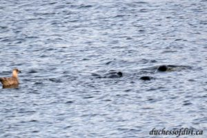 sea lions and gull - Courtenay Estuary