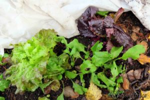 winter greens - lettuce, mustard, arugula