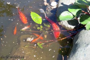 baby goldfish with parents