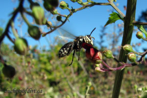 bald-faced hornet in Scrophularia auriculata flower