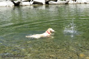 Sadie chasing rocks in the river