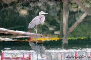 Great Blue Heron - Comox marina
