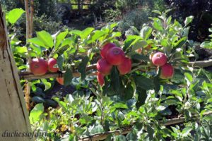 branch of 'Akane' apples