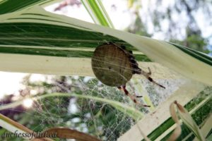 pregnant pumpkin spider guarding her bower