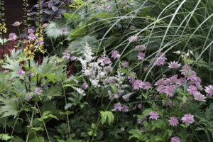 Ligularia stenocephala (narrow spiked leopard plant) and Astrantia major (masterwort)
